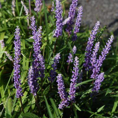 Super Blue Liriope Blooms