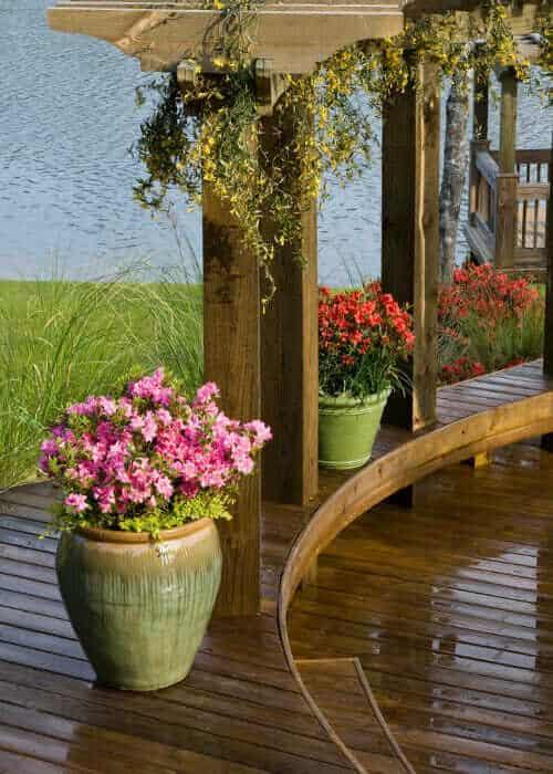 Encore® Azalea Autumn Carnation™