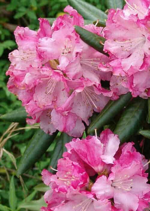 Southgate® Brandi Rhododendron