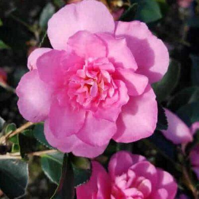 Usi Beni Camellia large pink blooms