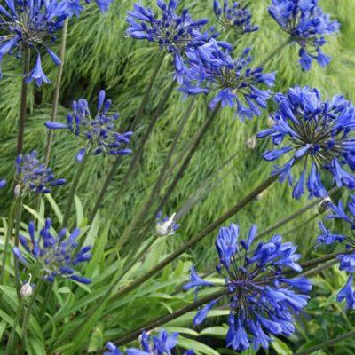 Little Blue Fountain™ Agapanthus