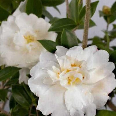 Diana™ Camellia