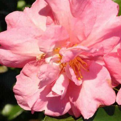 Jessica's Ruffles™ Camellia