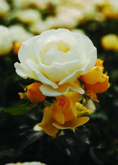 Popcorn Drift Rose white-yellow bloom up close