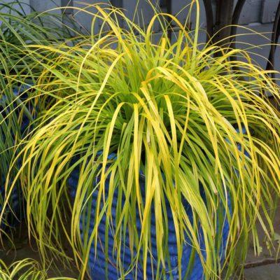 Everillo Carex Sedge Grass in a blue decorative container