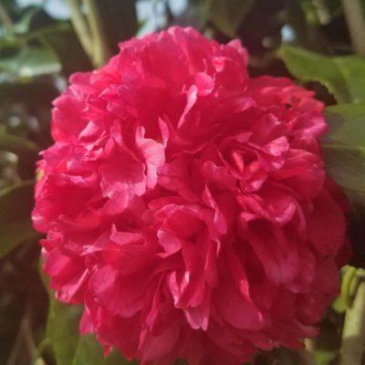 professor sargent camellia red bloom