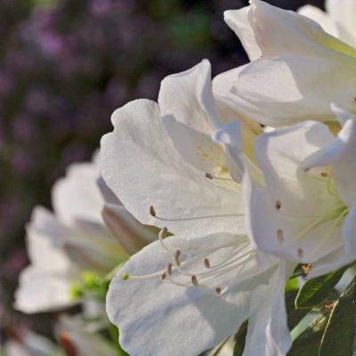Mrs gg gerbing white azalea bloom