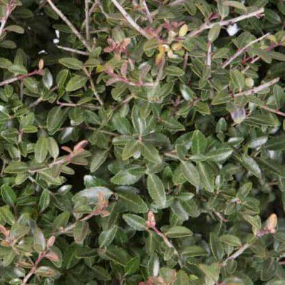 Dwarf Yaupon Holly foliage