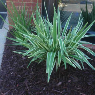 Dianella Silver Streak decorative garden use
