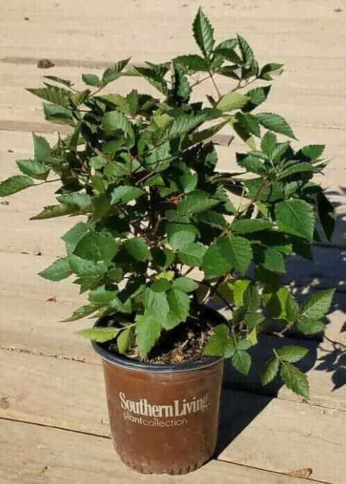 Navaho Thornless Blackberry in 2 gal pot