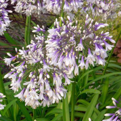 Ever Twilight agapanthus bloom pbm