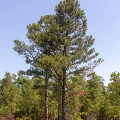 Mature Longleaf Pine Tree